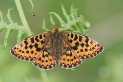 Ein erstaunlicher seltener Perle-angrenzender Fritillary-Schmetterling, Boloria-euphrosyne, gehockt auf einem Adlerfarn mit seine Lizenzfreie Stockfotos