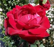 Ein erstaunliches Bild einer schönen Rotrose! stockbilder
