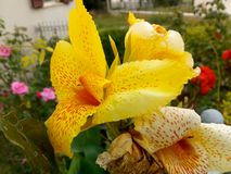 Ein erstaunliches Bild einer wunderbaren gelben Blume mit litlle Rotstellen! ! lizenzfreie stockfotos