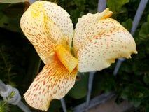 Ein erstaunliches Bild einer wunderbaren gelben Blume mit litlle Rotstellen! Dunkelheitsblätter über ihm hinaus! lizenzfreies stockbild