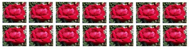 Ein erstaunliches Bild von schöne rote Rosen im Garten! Karte für Valentinsgruß ` s Tag! lizenzfreie stockbilder