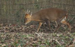 Ein erstaunliches Hirsch Muntjac-Rotwild Muntiacus reevesi, das durch einen Zaun am Rand des Waldlandes geht, in dem er eingezoge stockfotografie