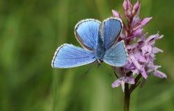 Ein erstaunliches männliches Adonis Blue Butterfly Polyommatus-bellargus, das auf einer Orchidee hockt Lizenzfreie Stockfotografie