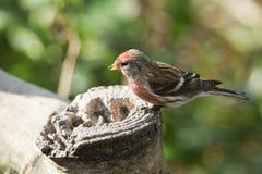 Ein erstaunliches männliches Lesser Redpoll Carduelis-Kabarett hockte auf einer Baumstumpffütterung stockfoto