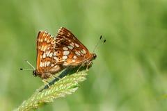 Ein erstaunliches Paar fügenden Herzogs von Burgunder-Schmetterling Hamearis-lucina hockend auf einem Blatt lizenzfreies stockbild