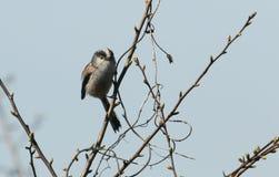 Ein erstaunliches Schwanzmeise Aegithalos-caudatus hockte auf einer Niederlassung eines Baums Lizenzfreie Stockfotos
