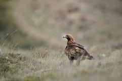 Erwachsener Adler hockte in der Vegetation auf dem Gebiet Stockfotos