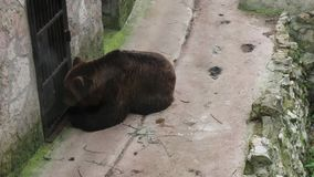 Ein erwachsener Braunbär isst Honig von einem Löffel Ein Mann zieht einen Bären durch ein Gitter ein stock video