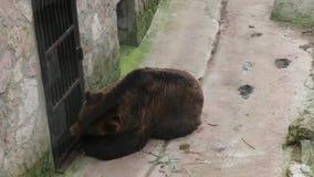 Ein erwachsener Braunbär isst Honig von einem Löffel Ein Mann zieht einen Bären durch ein Gitter ein stock video footage