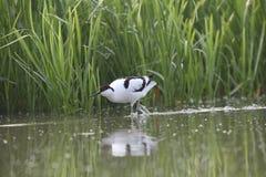 Ein erwachsener gescheckter Avocet weckt im Wasser auf, das eine kleine Ente jagt stockbilder