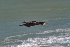 Ein erwachsener großer oder großer schwarzer Kormoran im Flug über dem Meer Stockfotos