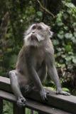 Ein erwachsener Makakenaffe, der auf dem Holz im Regenaffewald in Ubud, Bali, Indonesien sitzt stockfotografie
