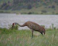 Ein erwachsener Sandhill Crane Looking für Lebensmittel lizenzfreies stockbild