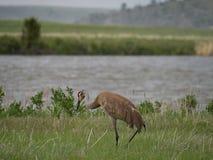 Ein erwachsener Sandhill Crane Walking Away von der Kamera im hohen Gras lizenzfreie stockfotografie