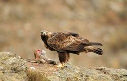 Ein erwachsener Steinadler bereitet vor sich, Aas zu essen Stockfoto