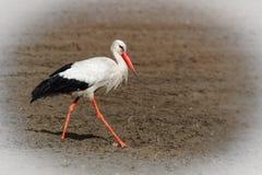 Ein erwachsener weißer Storch, ciconia ciconia stockfotografie