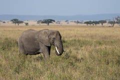 Ein erwachsener weiden lassender Elefant Lizenzfreies Stockbild