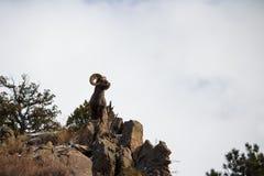Ein erwachsenes Bighornschaf hält eine majestätische Haltung auf einer Klippe stockfotos