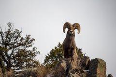 Ein erwachsenes Bighornschaf steht an der Spitze einer Klippe stockfotografie
