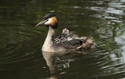 Ein erwachsenes Haubentaucher Podiceps cristatus mit seinen netten Babys, die auf seine Rückseiten schwimmen in einem Fluss fahre stockbilder