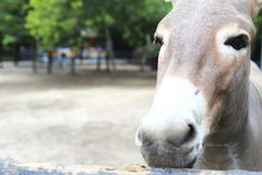 Weiden lassender Esel stockfotografie