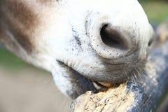 Weiden lassender Esel stockbild