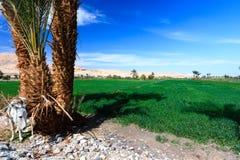 Ein Esel nahe grünem Ackerland in der Wüstenstadt von Luxor Stockfotografie