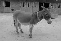 Ein Esel steht ruhig in der stabilen Koppel lizenzfreies stockfoto