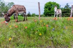 Ein Esel in Texas Field von Wildflowers Stockfoto