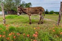 Ein Esel in Texas Field von Wildflowers Lizenzfreies Stockfoto