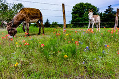 Ein Esel in Texas Field von Wildflowers Lizenzfreie Stockfotos