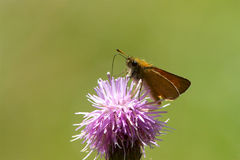 Ein Essex-Kapitänschmetterling, der auf eine Distelblume einzieht Stockfotografie