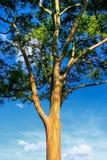 Ein Eukalyptusbaum in Hawaii Stockbild