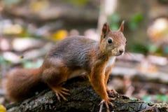 Ein eurasisches Eichhörnchen, das auf einem verfallenden Anmeldung gefallenen leav aufwirft lizenzfreies stockfoto