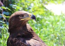 Ein europäischer Adler im Zoo Konzept der Freiheit, Gefängnis, Wille, Gefangenschaft Lizenzfreies Stockfoto
