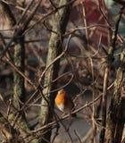 Ein europäischer Robin auf einer Niederlassung Stockbild