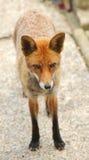 Ein europäischer roter Fox-Vulpes Vulpes Stockfotografie