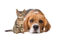 Ein europäisches kurzhaariges Kätzchen und ein Spürhund Lizenzfreie Stockbilder