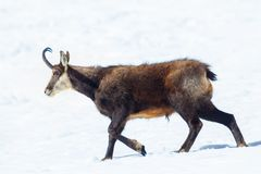 Ein Exemplar von Gämsenwegen im Schnee in den italienischen Alpen Nationalpark Gran Paradiso, Aosta, Italien stockbild