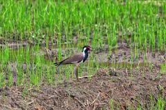 Ein exotisch Vogel, roter Kiebitz, steht auf einem grünen Reisgebiet lizenzfreie stockfotografie