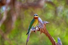 Ein exotisch Vogel sitzt auf einem Zweig im Yala Nationalpark stockfoto