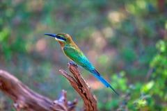 Ein exotisch Vogel sitzt auf einem Zweig im Yala Nationalpark stockfotos