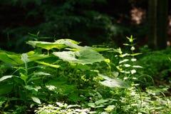 Ein fällt große grüne Blattpestwurz Petasites officinalis, die im Wald, ein Strahl des Lichtes wachsen, auf ihn Stockbild