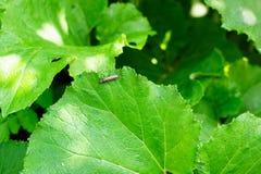 Ein fällt große grüne Blattpestwurz Petasites officinalis, die im Wald, ein Strahl des Lichtes wachsen, auf ihn Lizenzfreie Stockbilder