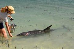 Ein Förster, der einen Bottlenosedelphin einzieht Affe Mia Haifisch-Bucht Sein gelegen auf Wellington-Straße und war im November  Lizenzfreies Stockbild