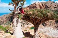 Ein Führer, der auf einem Flaschenbaum im Dragon Blood Trees-Wald in Homhil-Hochebene, Socotra, der Jemen klettert Lizenzfreie Stockfotos