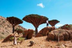 Ein Führer im Dragon Blood Trees-Wald in Homhil-Hochebene, Socotra, der Jemen Lizenzfreies Stockfoto