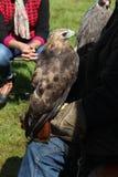 Ein Falke Stockbild