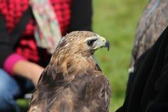 Ein Falke Stockfoto