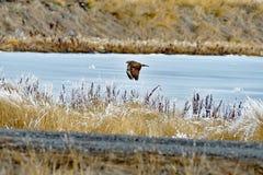 Ein Falke auf dem Flug Stockbild